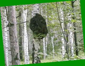 Чага полезные свойства и применение березового гриба